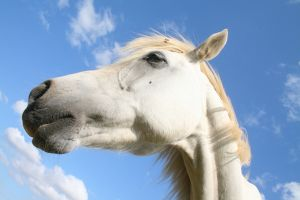 1232030_white_horse